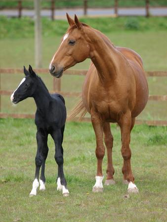 かわいい黒い子馬が母親と一緒にパドックに立っています。