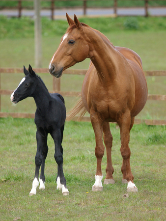 A pretty black foal stands in a paddock with its mother.