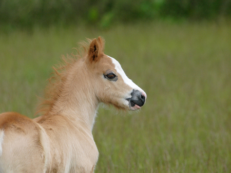 A head shot of a pretty Welsh foal in a paddock. Stock Photo