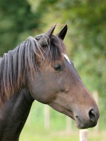 A head shot of a bay horse.