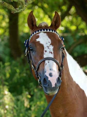 A head shot of a pretty skewbald horse in a bridle.