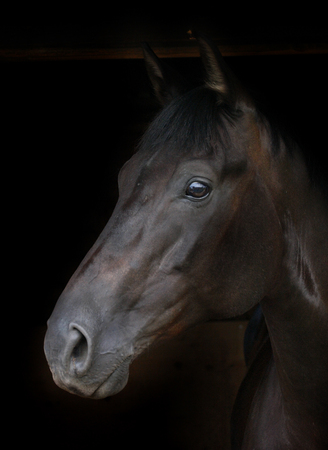 A head shot of a bright bay horse against a black background.