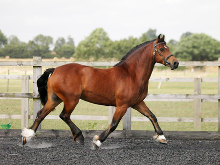 A Welsh Section D trots at liberty in a paddock. Reklamní fotografie - 96126446
