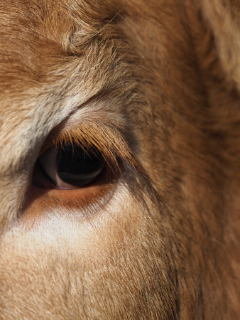 A close up of the eye of a cow. Stockfoto