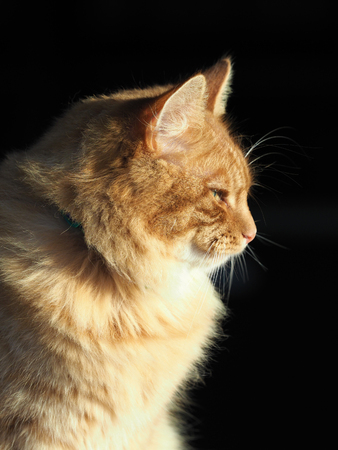 A cute ginger tom cat sits in sunlight. Stock Photo