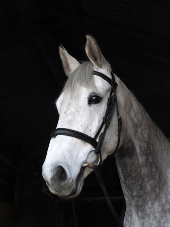 A head shot of a grey horse in a snaffle bridle. Stockfoto