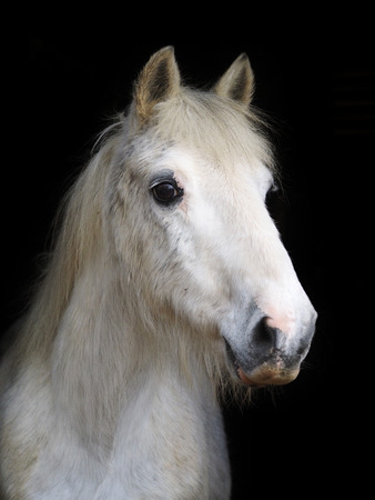 A head shot of an old grey pony against a black background. Banque d'images