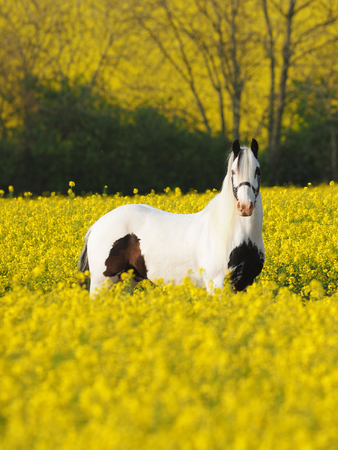 A pieblad horse stands in a field of oil seed rape in flower.