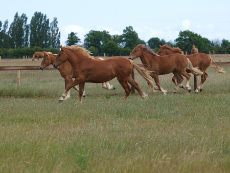 A group of young Suffolk Punch horses run loose through a paddock.
