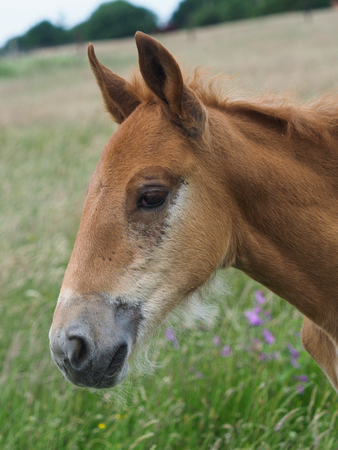 A head shot of a pretty Suffolk Punch foal in a meadow.