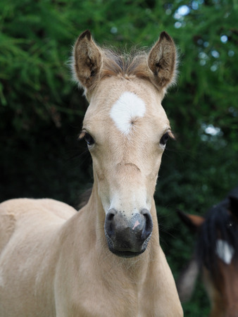 A head shot of a pretty foal outdoors in a paddock. Stock Photo