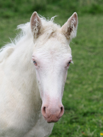 A head shot of a Cremello foal with blue eyes. Stock Photo