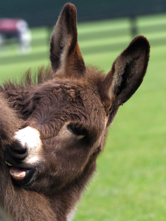 A cute donkey foal has a scratch outside in a paddock. Stock Photo
