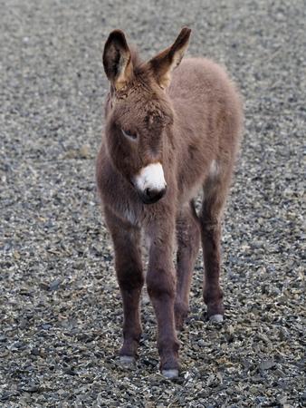 A cute baby donkey foal standing outside.