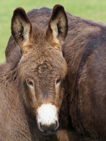 A head shot of a cute donkey foal. Stock Photo