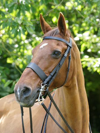 A head shot of a horse in a bridle with double reins.