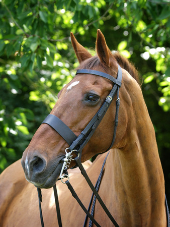A head shot of a horse in a bridle with double reins. Stock Photo - 96365939