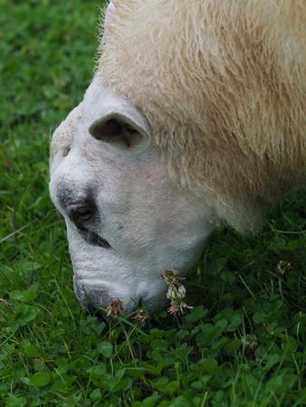 A single sheep grazes a paddock of clover.