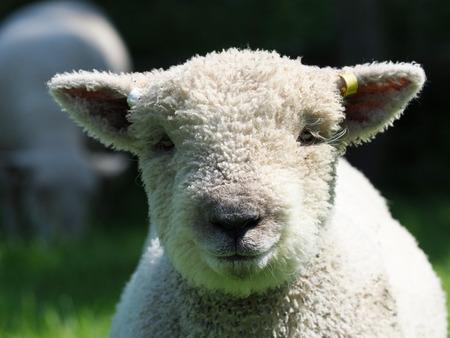 A head shot of a single Southdown lamb. Stock Photo