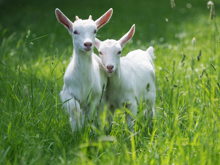 Two baby goat kids stand in long summer grass. Stock Photo