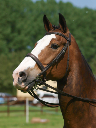A head shot of a horse in the show ring.