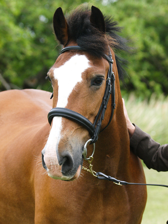 A head shot of a bright bay horse in a snaffle bridle in the show ring.