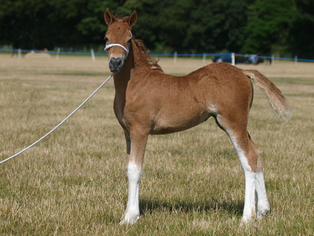 A cute welsh pony foal in a white halter stands at a show. Stock Photo
