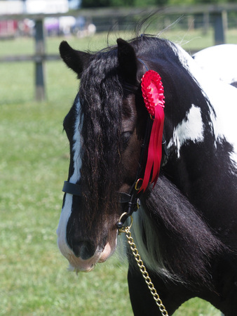 A head shot of a traditional gypsy cob in the show ring.