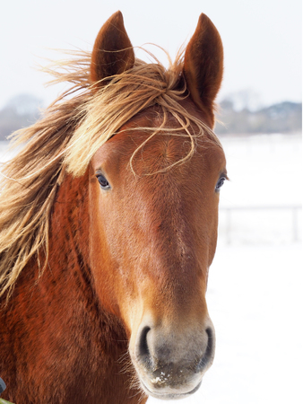 A Suffolk Punch horse in the snow. Zdjęcie Seryjne