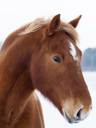 A head shot of a rare breed Suffolk Punch horse in a snowy winter setting.