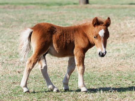 A cute shetland pony foal in a paddock.