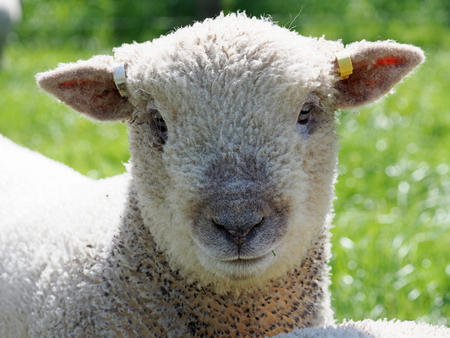 A head shot of a single Southdown lamb. 스톡 콘텐츠