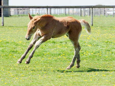 A rare Suffolk Punch foal plays in a summer paddock. Imagens