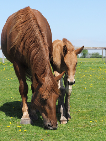 A rare breed Suffolk Punch mare and foal. Imagens