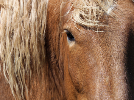 A close up shot of the eye and face of a chestnut horse with a long mane. Stockfoto