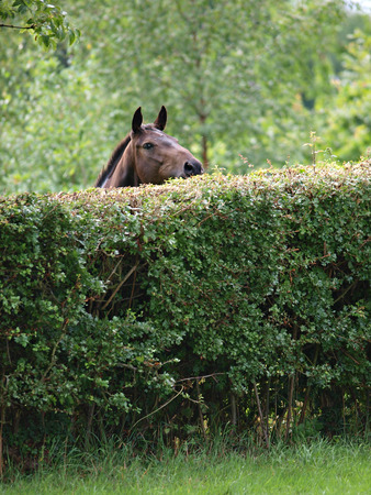 A bay horse trying to look over a tall hedge.