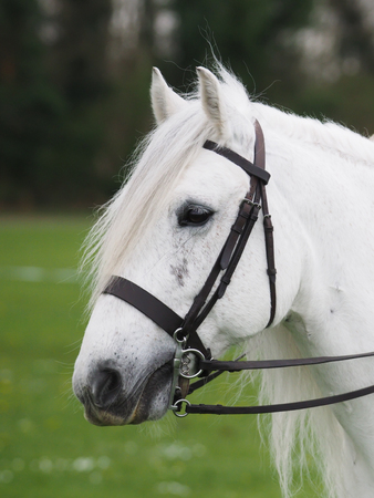 Headshot of a Highland pony in the show ring.