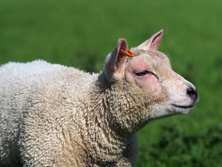 A cute Spring lamb in a grass paddock.