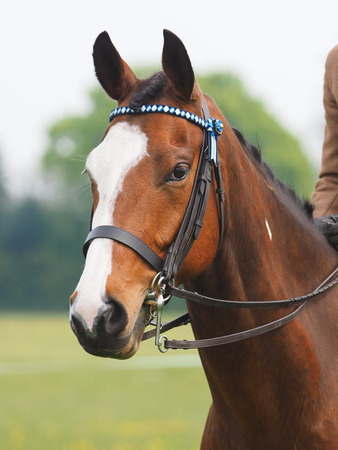 A head shot of a beautiful horse in the show ring with a double bridle.