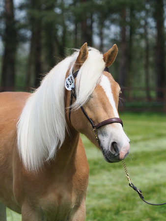A head shot of a stunning Haflinger horse in a show bridle. Stock Photo