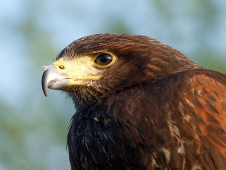 A beautiful bird of prey used as a falconers bird.