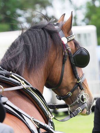 A bay welsh cob in full driving harness.