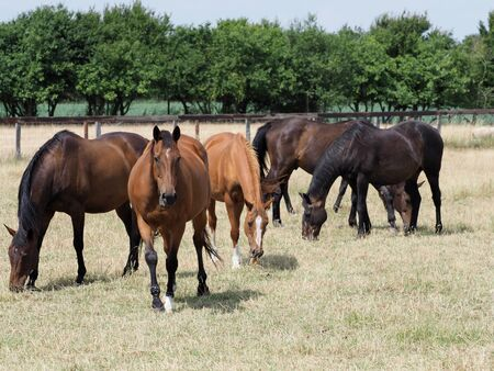 A herd of ex race horses graze peacefully in a summer paddock.