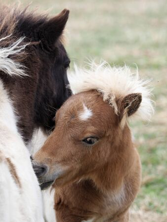 Two young miniature shetland pony foals mutual groom each other.