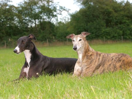 Two greyhound friends in a meadow. Stock Photo