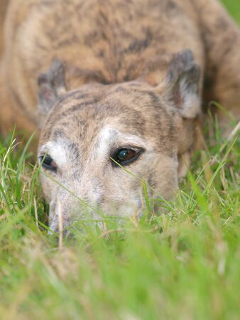 A beautiful greyhound lays down in a meadow.