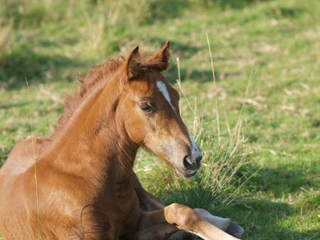 A pretty young Welsh Cob foal sits in a paddock. Reklamní fotografie