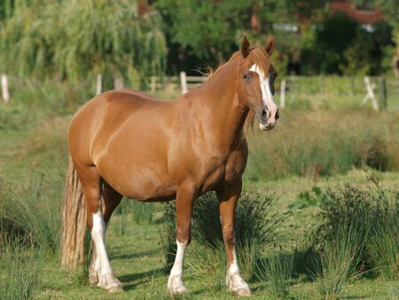 A single chestnut Welsh cob stands alone in a paddock.
