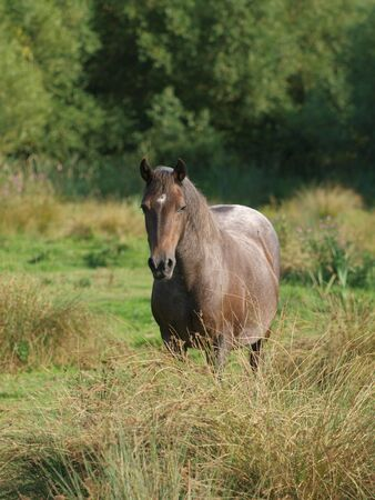 An older Welsh Section D pony stands alone in a paddock.