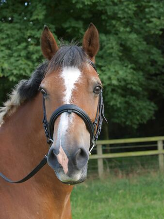 A head shot of a pretty dun horse in a bridle with a white blaze Stockfoto
